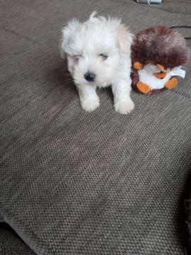 Malteser In Wiesbaden Hunde Kaufen Verkaufen Auf Quoka De