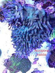 Diverse Korallen Acropora und Montipora