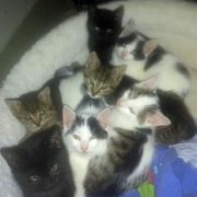 sieben süße Katzenbabys abzugeben