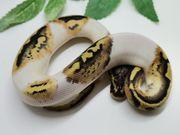 Python Regius Pieds