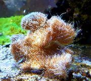 Meerwasser Pavona cactus