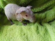 Süsses Skinny Pig Meerschweinchen 5