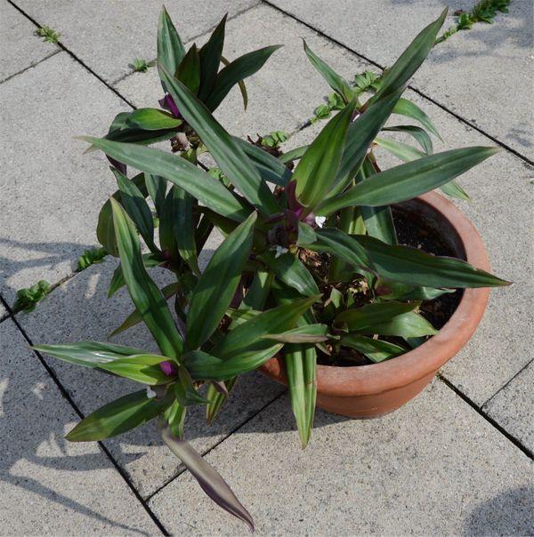 Hübsche wuchsfreudige Zimmerpflanze im Terracottatopf