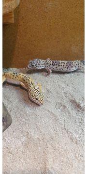 Leopardgecko s 3 Weibchen inkl