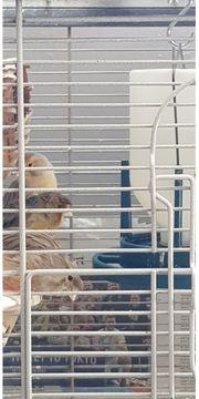 Ich verkaufe schöne Kanarienvögel sind