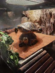 Schildkröten zu verkaufen