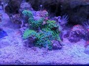 Meerwasser Korallen Ableger Zoantus Meerwasseraquarium