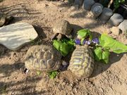 Zuchtgruppe Griechische Landschildkröten