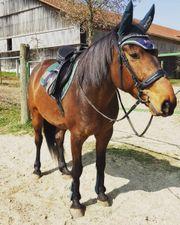 Reitbeteiligung gesucht pferd sucht