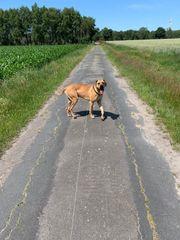 Deckrüde Deutsche Dogge