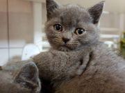 bkh britisch kurzhaar-Babys Kitten Blau