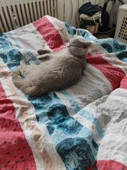 BKH Katze 8 Monate