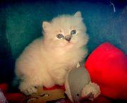 Ragdoll Mix Kitten Junge sucht