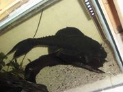 Verkaufe meine letzten Aquariumfische