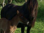 Pony Fellpony-Araber Fohlen Hingucker mit