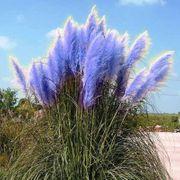 Blaue Samen vom Pampasgras zu