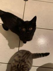 2x Kätzchen 12 Wochen alt