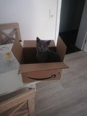 Britische Kurzhaar Katzenbaby Junge