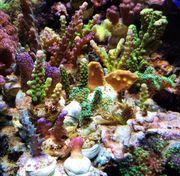 Meerwasseraquaristik - SPS Steinkorallen Ableger - Acropora