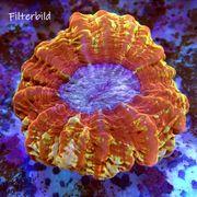 Cynarina lacrymalis Tränenkoralle rot multicolor ultra XXL