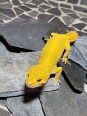 Leopardgecko Tangerine Cross BloodxElectric 0