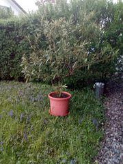 Schoener grosser Oleander