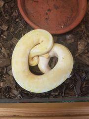 1 0 Albino spieder