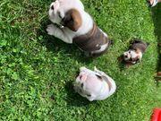 Mini Englische Bulldogge Welpen