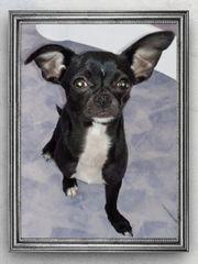 Süßer schwarzer reinrassiger Chihuahua Rüde
