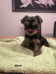Yorkshire Terrier Mini Mini Yorkshire