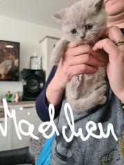 BKH Kitten Weibchen nur 1Lilak