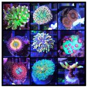 Meerwasser Korallen LPS SPS Krustenanemone