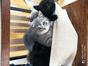 Ein BKH Kitten in gute