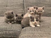 BKH - Britische kurzhaare Katzen Kitten