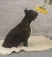 Letzte Französische Bulldoge Weibchen Abgabebereit