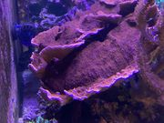Meerwasser Rote Montipora