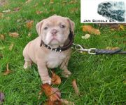 American Bully Vater Extrem Champion