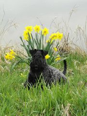 Kerry Blue Terrier-Welpen