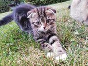 Scottish fold Katzen