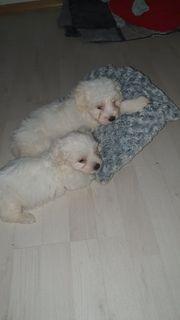malteser hunde