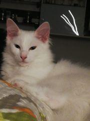 Weisse Maine Coon Kitten