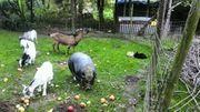 Minischweine Platzangebot