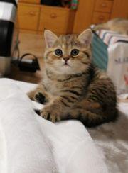 BKH Katzenbabys mit Stammbaum