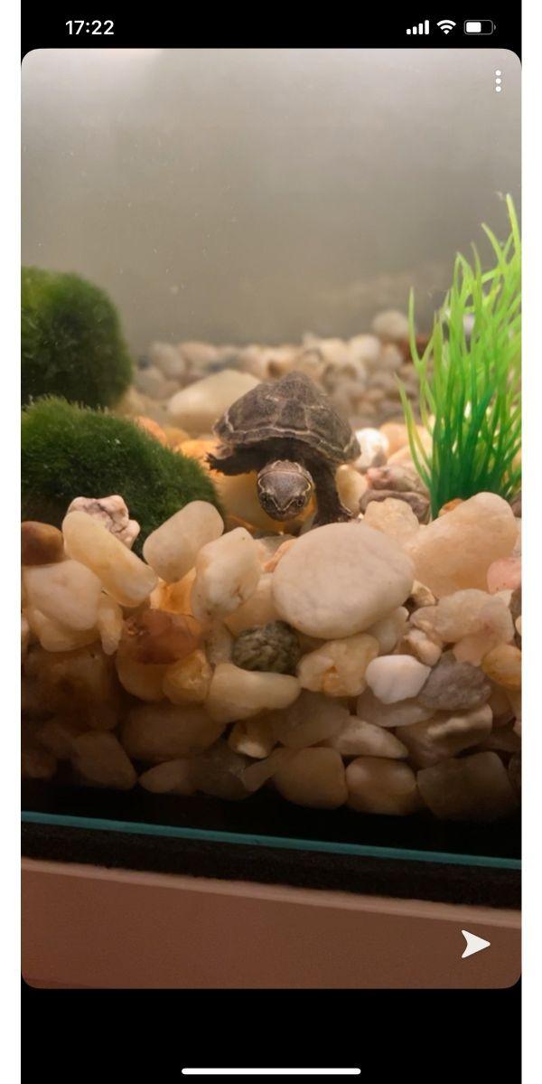 Babywasserschildkröte