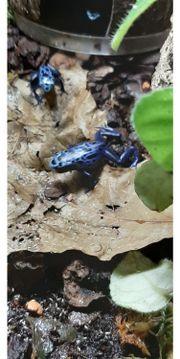 Dendrobaten tinctorius Azureus