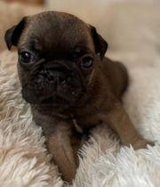 Wunderschöne Französiche Bulldogge Frops
