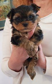 zauberhafter süßer kleiner Yorkshire Terrier