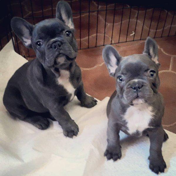 Franzosische Bulldoggen In Wien Hunde Kaufen Und Verkaufen Uber