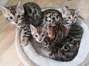 Wunderschöne Bengal Katzen zu verkaufen