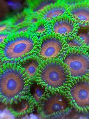 Korallen Ableger verschiedene